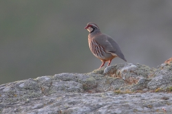 Red-legged Partridge. Photo: © Steve Levrier