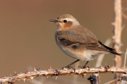 Wheatear. Photo: © Steve Levrier