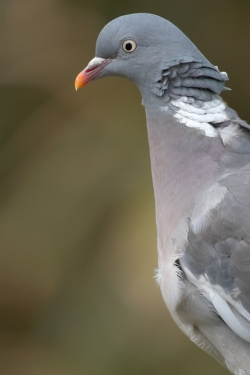 Woodpigeon. Photo: © Steve Levrier