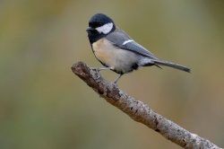 Great Tit. Photo: © Steve Levrier