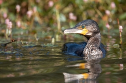 Cormorant. Photo: © Steve Levrier