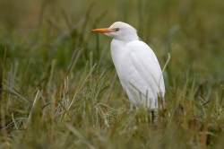 Cattle Egret. Photo: © Steve Levrier