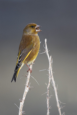 Greenfinch photographed at Pleinmont on 12/12/2007. Photo: © Steve Levrier
