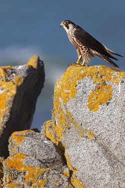 Peregrine. Photo: © Steve Levrier