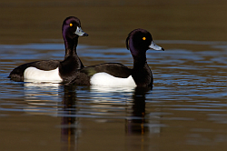 Tufted Duck photographed at Reservoir on 17/2/2008. Photo: © Steve Levrier