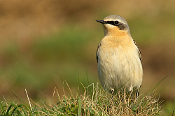 Wheatear photographed at Pleinmont on 25/4/2008. Photo: © Steve Levrier
