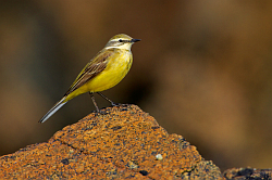 Yellow Wagtail photographed at Fort le Crocq on 2/5/2008. Photo: © Steve Levrier