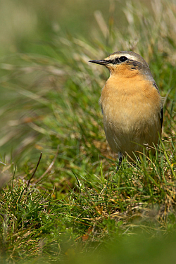 Wheatear photographed at Pleinmont on 2/5/2008. Photo: © Steve Levrier