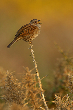 Dunnock photographed at Pleinmont on 11/5/2008. Photo: © Steve Levrier
