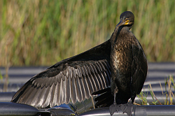 Cormorant photographed at Reservoir on 8/6/2008. Photo: © Steve Levrier