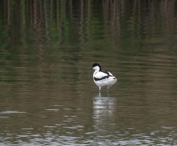 Avocet photographed at Vale Pond [VAL] on 15/5/2005. Photo: © Mark Lawlor