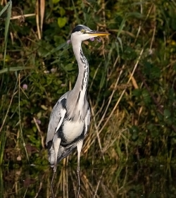 Grey Heron photographed at Rue des Bergers NR on 14/10/2007. Photo: © Barry Wells