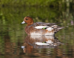 Wigeon photographed at Rue des Bergers NR on 14/10/2007. Photo: © Barry Wells