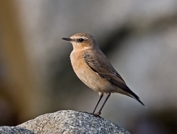 Wheatear photographed at Fort le Crocq on 14/10/2007. Photo: © Barry Wells