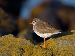 Redshank photographed at Fort le Crocq on 27/10/2007. Photo: © Barry Wells