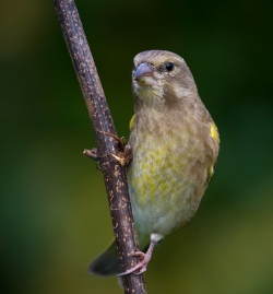Greenfinch photographed at Les Caches on 27/10/2007. Photo: © Barry Wells
