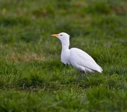 Cattle Egret photographed at Rue des Bergers NR on 31/10/2007. Photo: © Barry Wells