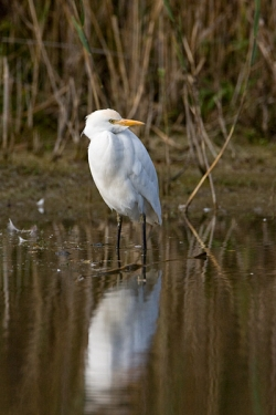 Cattle Egret photographed at Rue des Bergers NR on 2/11/2007. Photo: © Barry Wells