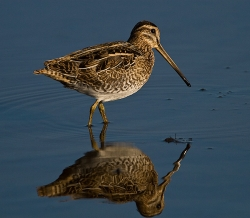 Snipe photographed at La Claire Mare on 4/8/2007. Photo: © Barry Wells