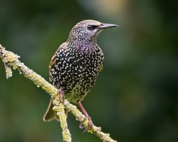Starling photographed at Les Caches on 24/11/2007. Photo: © Barry Wells