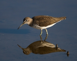 Green Sandpiper photographed at La Claire Mare on 5/8/2007. Photo: © Barry Wells