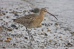 Curlew photographed at Bordeaux Harbour on 12/1/2008. Photo: © Barry Wells