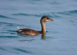 Little Grebe photographed at St Peter Port Harbour on 20/1/2008. Photo: © Barry Wells