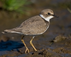 Little Ringed Plover photographed at Pleinmont on 2/9/2007. Photo: © Barry Wells