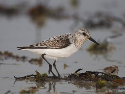 Sanderling photographed at Cobo Bay on 9/9/2007. Photo: © Barry Wells