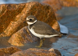 Ringed Plover photographed at Vazon Bay on 13/9/2007. Photo: © Barry Wells
