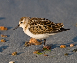 Little Stint photographed at Vazon Bay on 14/9/2007. Photo: © Barry Wells