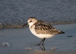 Sanderling photographed at Vazon Bay on 14/9/2007. Photo: © Barry Wells