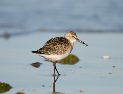 Curlew Sandpiper photographed at Vazon Bay on 15/9/2007. Photo: © Barry Wells