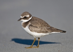 Ringed Plover photographed at Vazon Bay on 15/9/2007. Photo: © Barry Wells