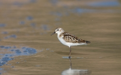 Little Stint photographed at Vazon Bay on 15/9/2007. Photo: © Barry Wells