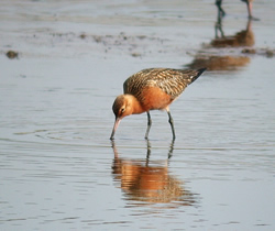 Bar-tailed Godwit photographed at Claire Mare [CLA] on 1/5/2007. Photo: © Mark Lawlor