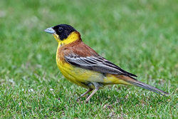 Black-headed Bunting photographed at Jerbourg [JER] on 26/5/2009. Photo: © Paul Hillion