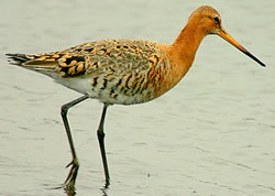 Black-tailed Godwit photographed at Claire Mare [CLA] on 0/5/2007. Photo: © Bob Murphy