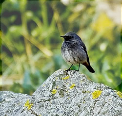 Black Redstart photographed at Belle Greve Bay [BEL] on 1/1/2008. Photo: © Phil Alexander