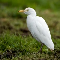 Cattle Egret photographed at Les Vauxbelets on 8/2/2009. Photo: © Paul Hillion