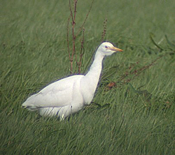Cattle Egret photographed at Le Coutanchez on 9/2/2004. Photo: © Mark Lawlor