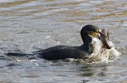 Cormorant photographed at Vale Pond [VAL] on 0/12/2006. Photo: © Colin Radford