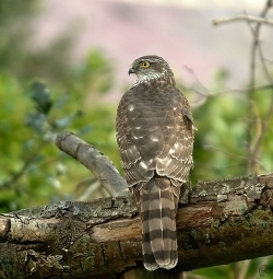 Sparrowhawk photographed at Les Caches on 28/2/2004. Photo: © Barry Wells