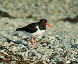 Oystercatcher photographed at Shingle Bank on 8/7/2006. Photo: © Barry Wells