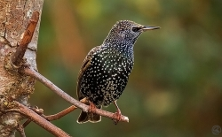 Starling photographed at Les Caches on 28/12/2004. Photo: © Barry Wells