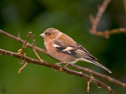 Chaffinch photographed at Les Caches on 2/1/2005. Photo: © Barry Wells