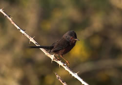 Dartford Warbler photographed at Pleinmont [PLE] on 2/6/2006. Photo: © Vic Froome