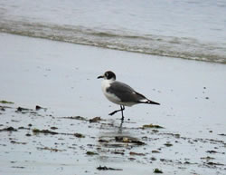 Franklin's Gull photographed at Vazon [VAZ] on 11/6/2006. Photo: © Mark Lawlor