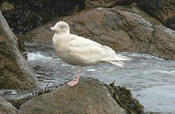 Glaucous Gull photographed at Grandes Havres [GHA] on 12/1/2007. Photo: © Bob Murphy