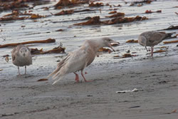 Glaucous Gull photographed at Jaonneuse [JAO] on 20/1/2007. Photo: © Vic Froome